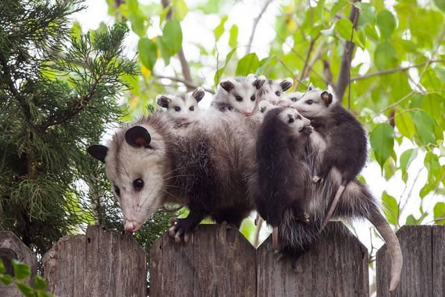 lemure con piccoli