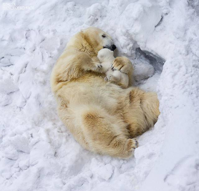 orsi polari giocano