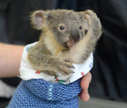 cucciolo koala
