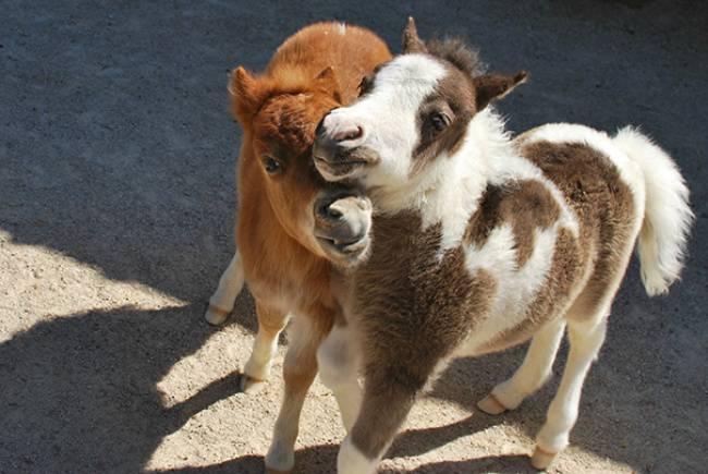 cavalli amici