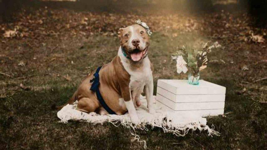 pitbull incinta abbandonata 10