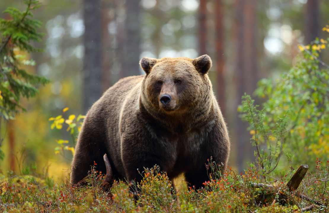 attacco orso