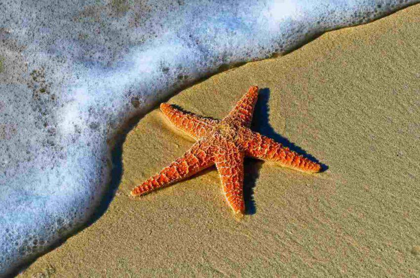 stella marina nel secchiello